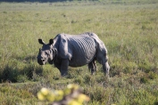 A lonesome Rhino. Did you know Rhinos eat for 18 hours a Day!