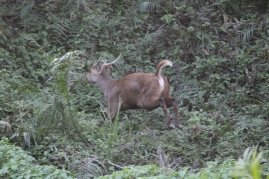 Sambar Deer on the chase.