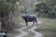 Indian Wild Buffalo