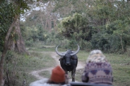 Face off with an intrigued Indian Wild Buffalo.