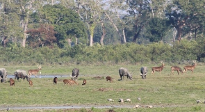 Wild Buffaloes & Hog Deers out for a graze