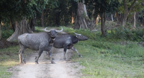 Crossing paths with Wild Buffaloes.