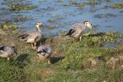 Migratory Siberian Ducks.