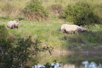 Frolicking Rhinos