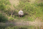 One Horn Rhino, Kaziranga National Park